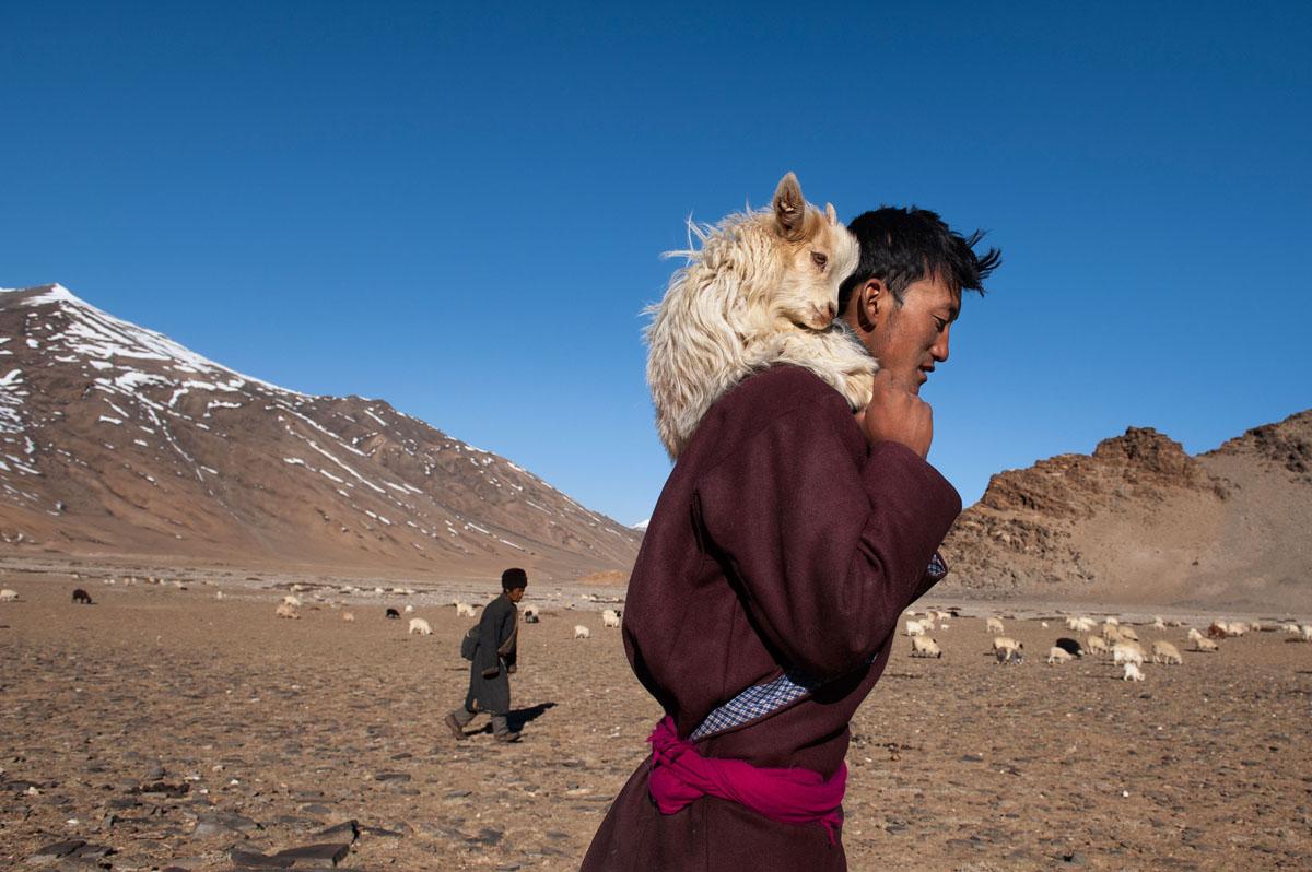 Un pastore porta sulle spalle una capretta nel Ladakh India